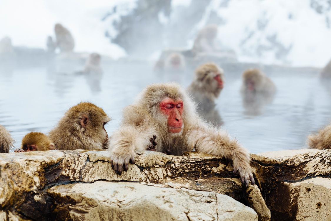 Wildlife,Macaque,Japanese Macaque