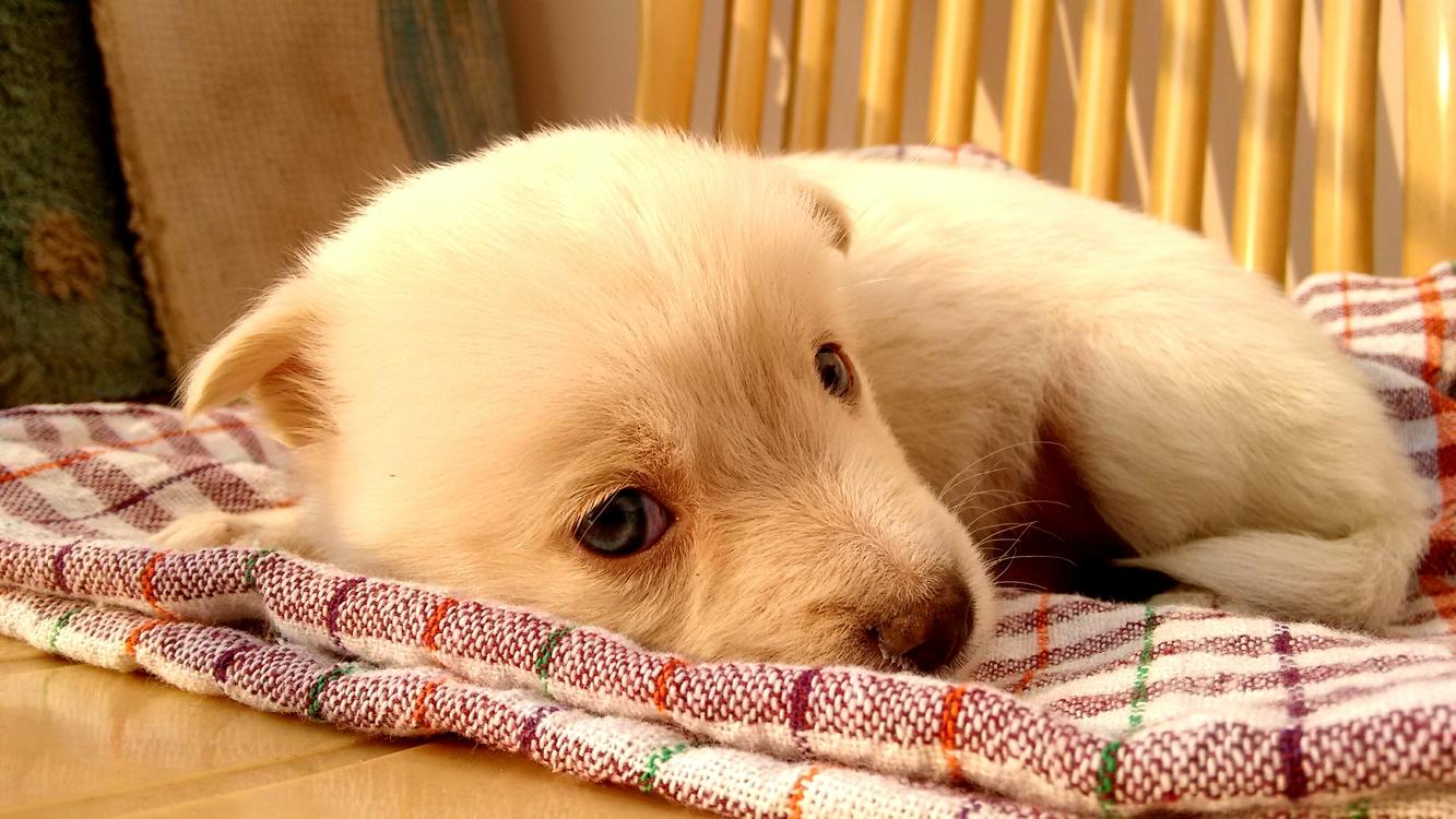 Companion Dog,Pungsan Dog,Puppy Love