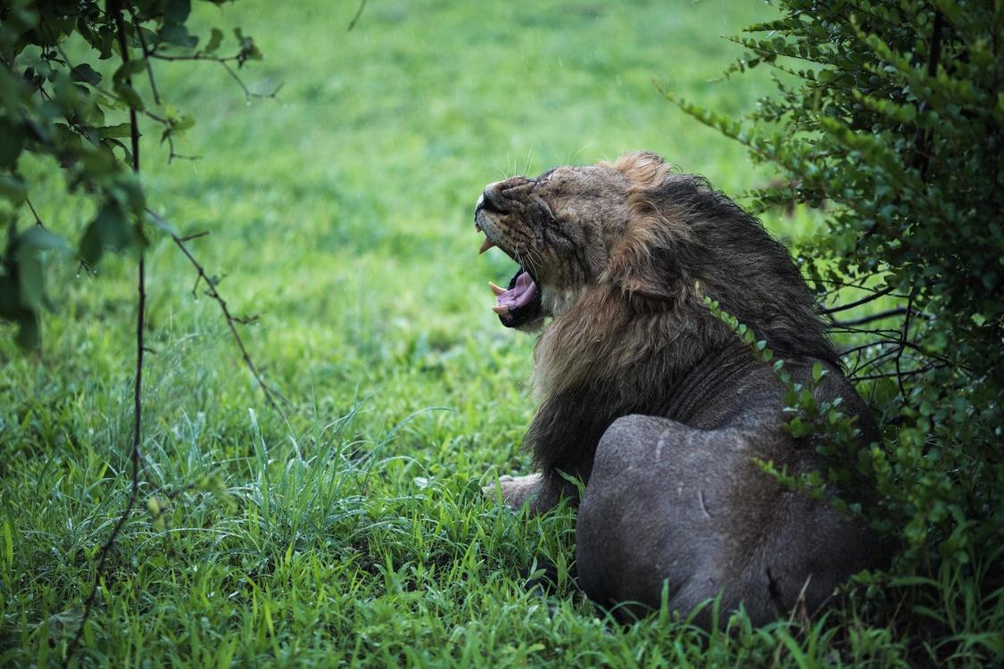 Macaque Tiger Roar Lion Jungle