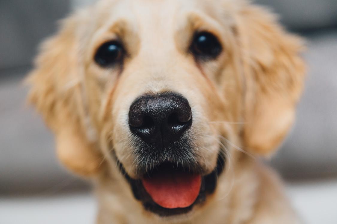 Companion Dog,Carnivoran,Puppy Love