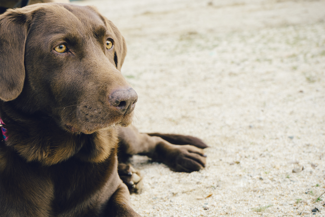 Labrador Retriever,Dog,Dog Breed
