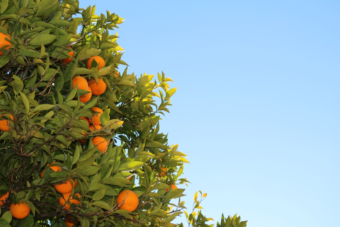 Evergreen,Bitter Orange,Plant
