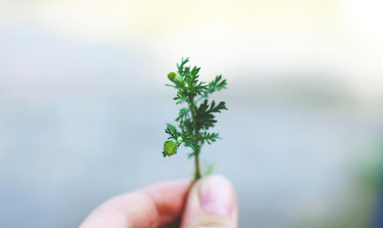 Plant Stem,Herb,Plant