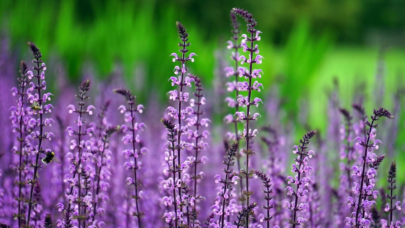 Hyssopus,Plant,Flower