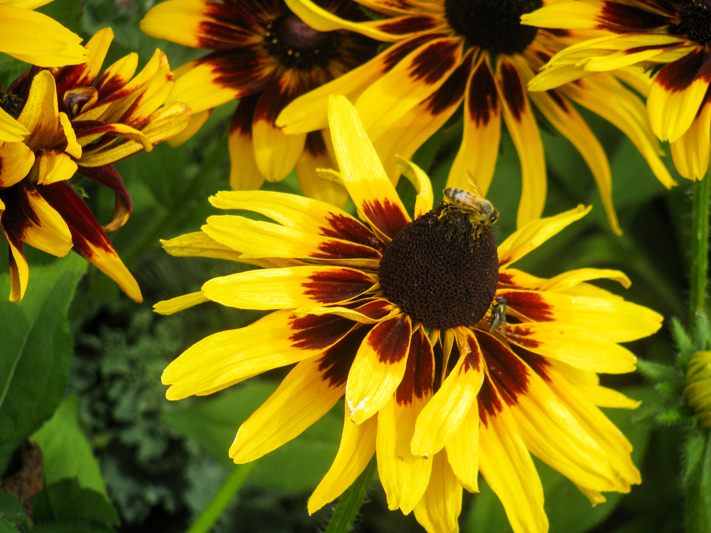 Daisy Family,Sunflower Seed,Plant