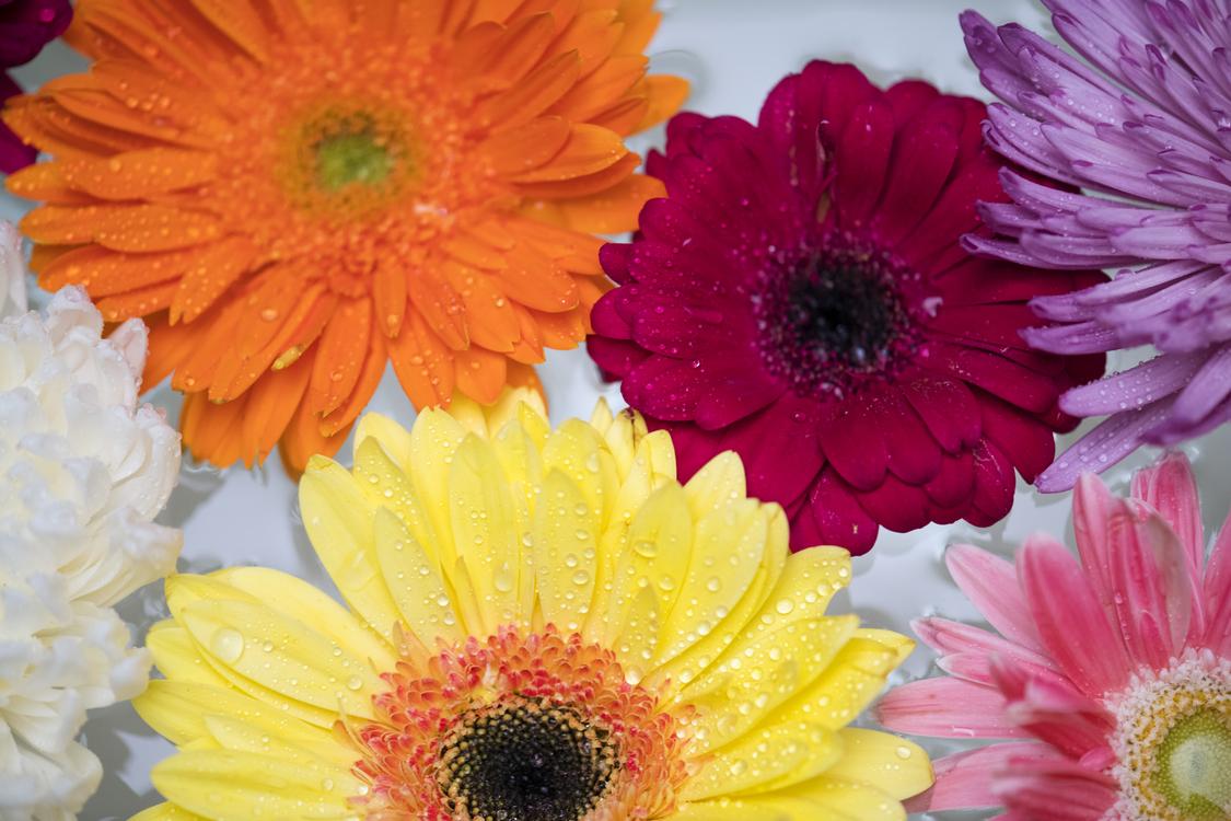 Chrysanths,Flower,Petal