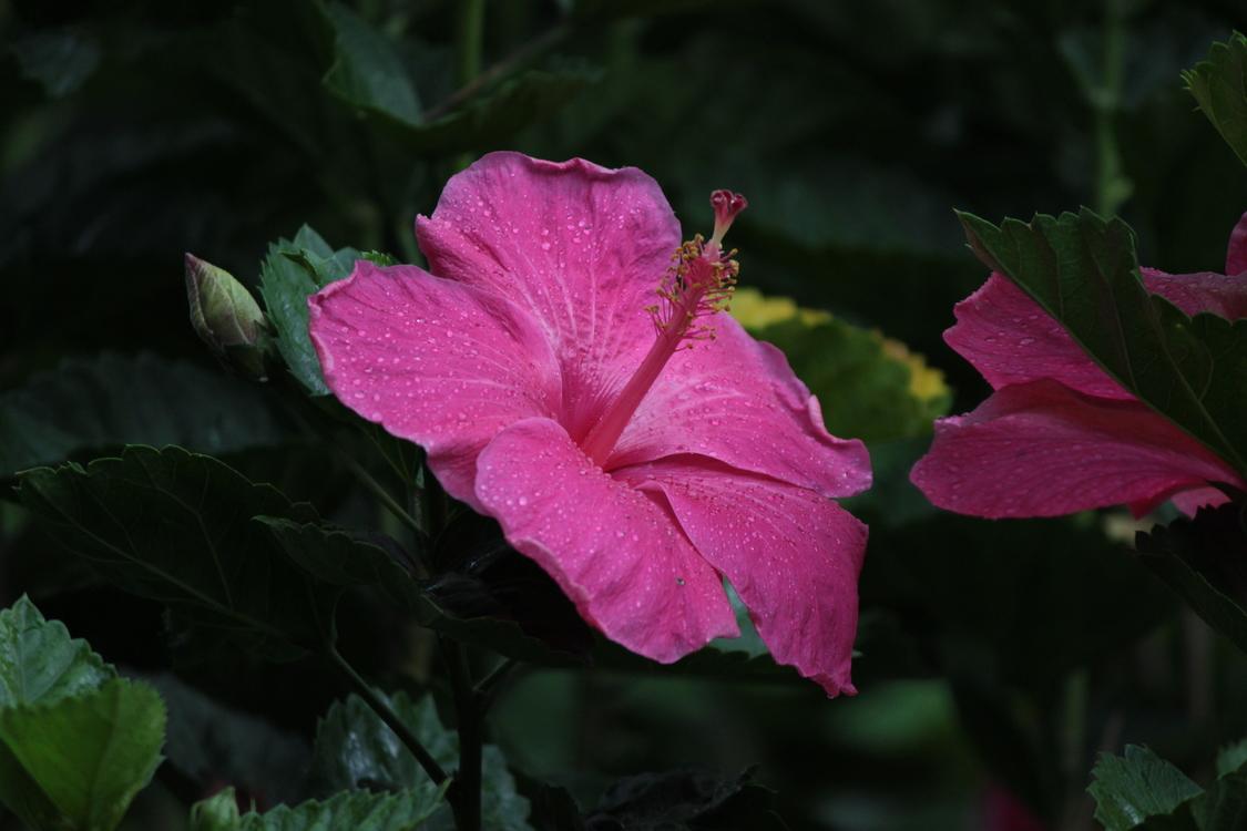 Pink,Hibiscus,Plant