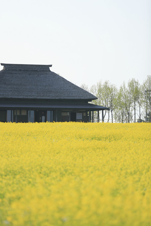 Meadow,Canola,Spring