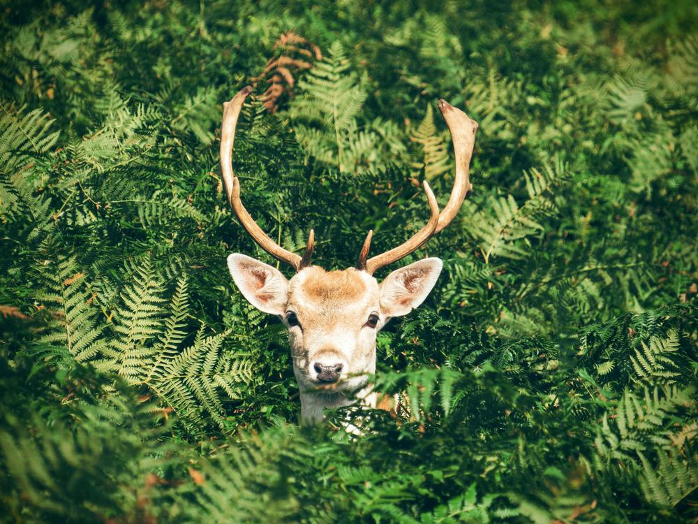 Elk,Wildlife,Deer