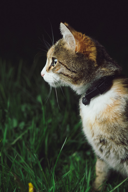 Domestic Short Haired Cat,Wildlife,Grass