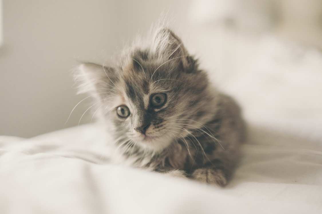 Domestic Short Haired Cat,Snout,Norwegian Forest Cat