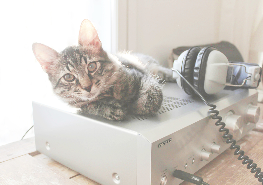 Domestic Short Haired Cat,Box,Bengal