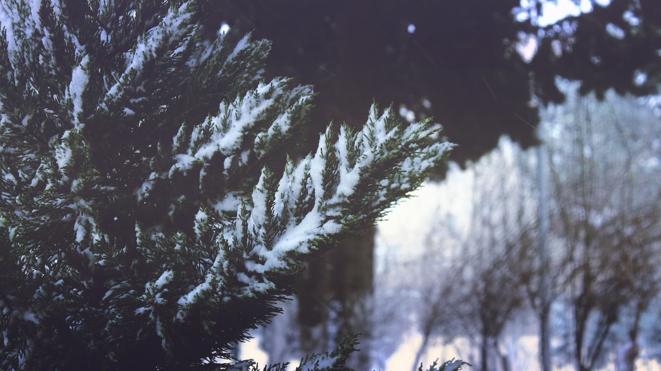 Woodland,Pine,Conifer