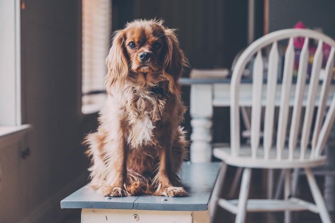 Companion Dog,Dog,Dog Breed