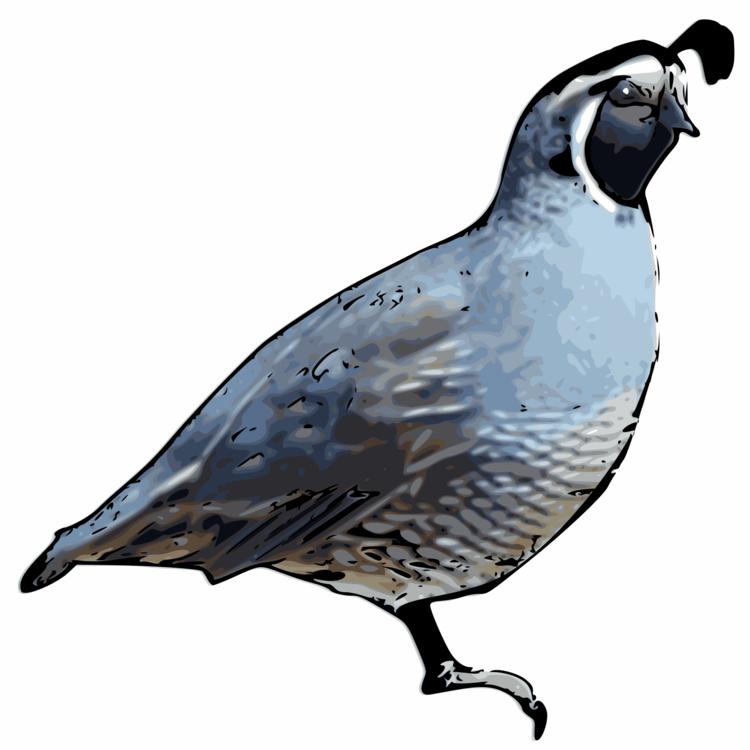 Quail bird clipart — photo 1