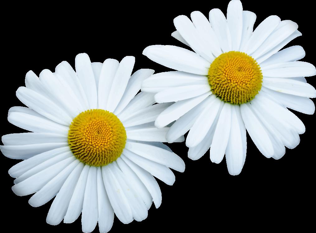 Chrysanths,Flower,Chamaemelum Nobile