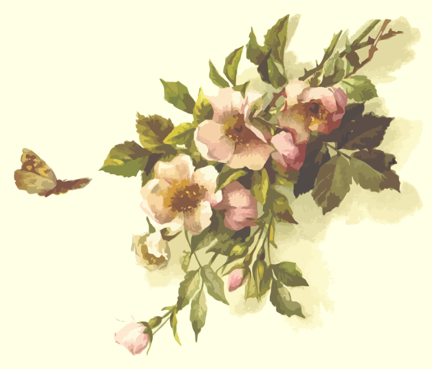 Plant,Flower,Rosa Centifolia