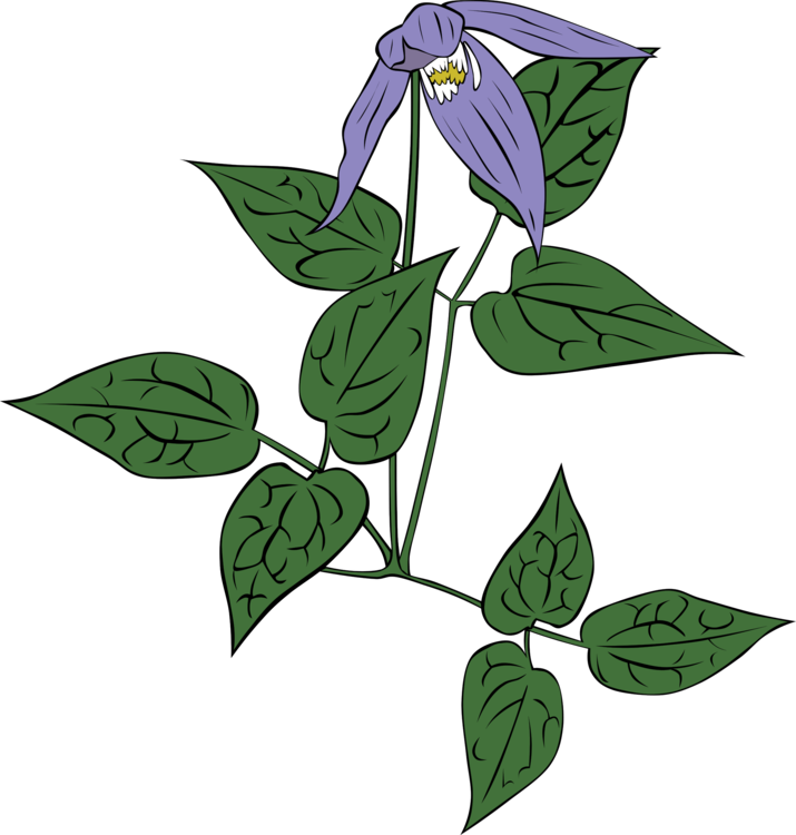 Clematis occidentalis Download Clematis viticella Vine Computer Icons