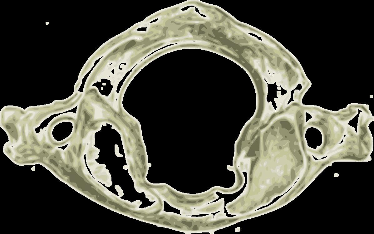 Atlas Vertebral Column Cervical Vertebrae Axis Free Commercial
