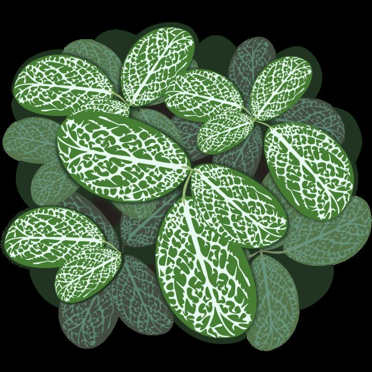 Shamrock,Plant,Leaf