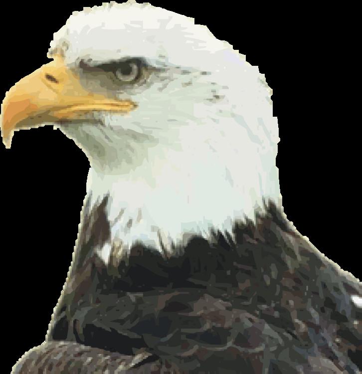 Eagle,Bald Eagle,Bird Of Prey