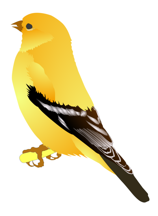 Perching Bird,Eurasian Golden Oriole,Beak