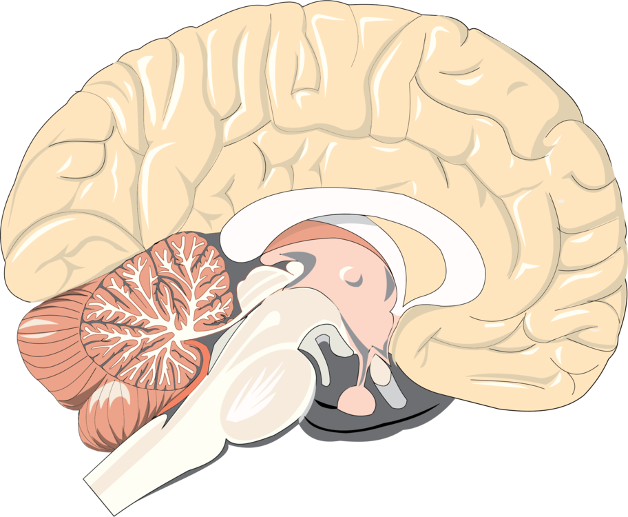 Brain,Organ,Jaw
