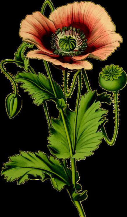 Opium poppy common poppy flower free commercial clipart still life opium poppy common poppy flower mightylinksfo