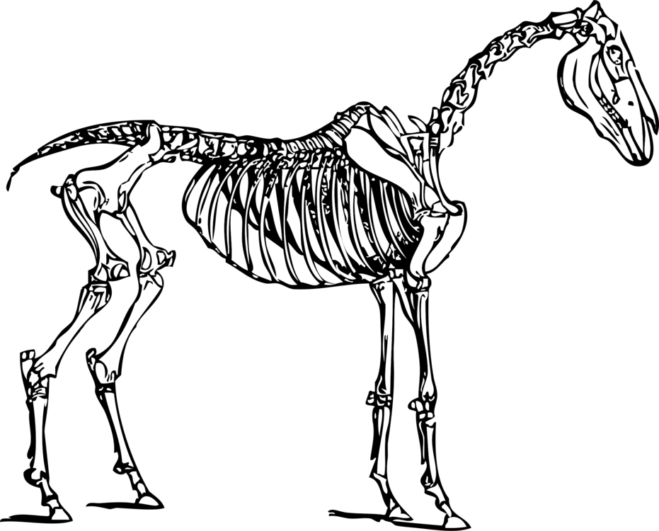 Skeletal System Of The Horse Skeleton Skull Mule Free Commercial