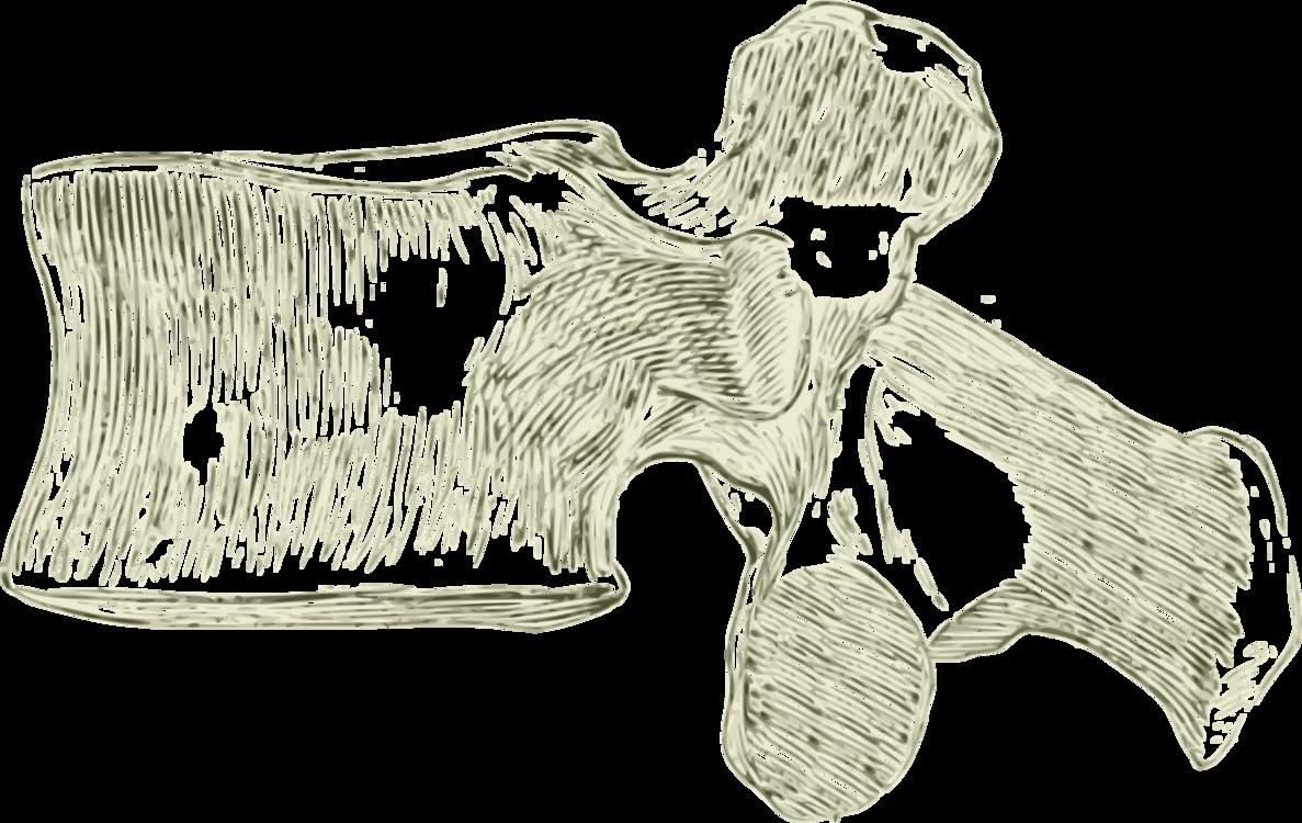 Lumbar Vertebrae Vertebral Column Human Anatomy Free Commercial