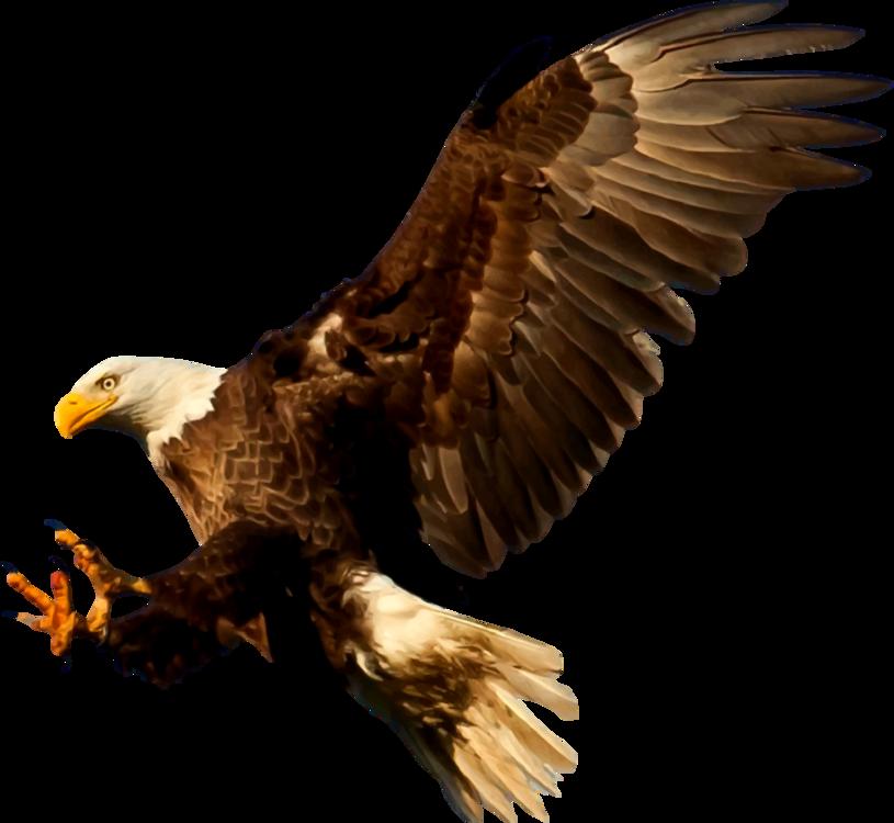 Eagle,Wildlife,Bald Eagle