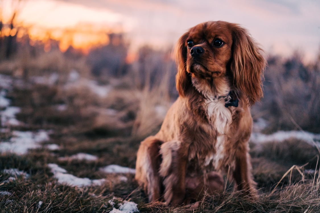 Companion Dog,English Cocker Spaniel,Dog