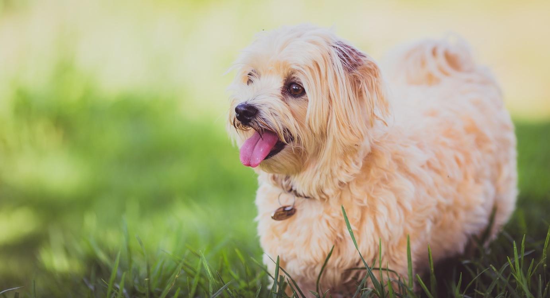 Companion Dog,Carnivoran,Dog Breed