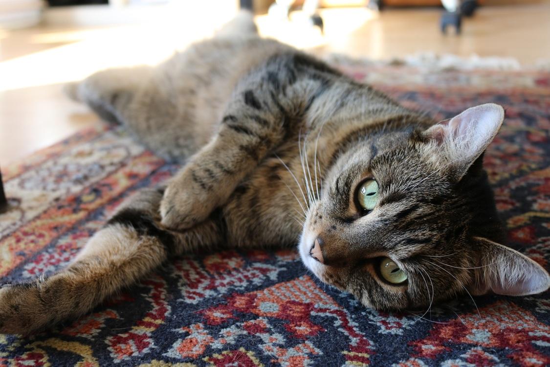 Domestic Short Haired Cat,European Shorthair,Fur