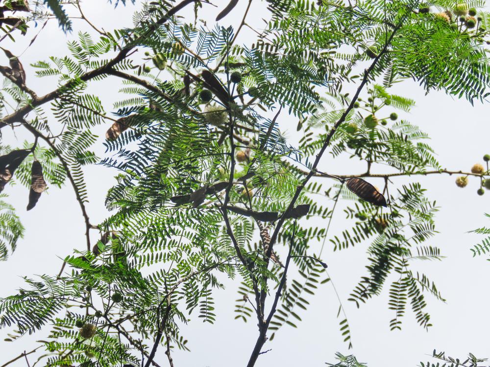 Evergreen,Pine Family,Plant