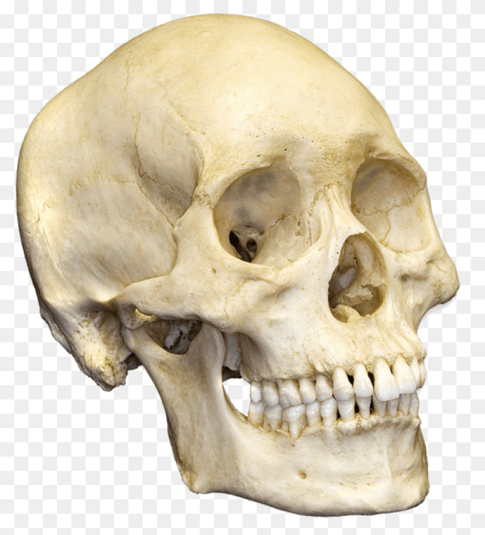 Human Skeleton Human Skull Bone Free Png Image Human Skullskull