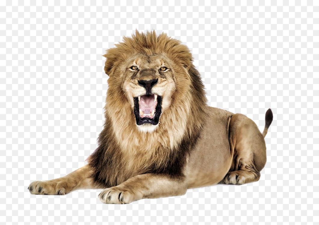 Lion Felidae Computer Icons Roar Big cat