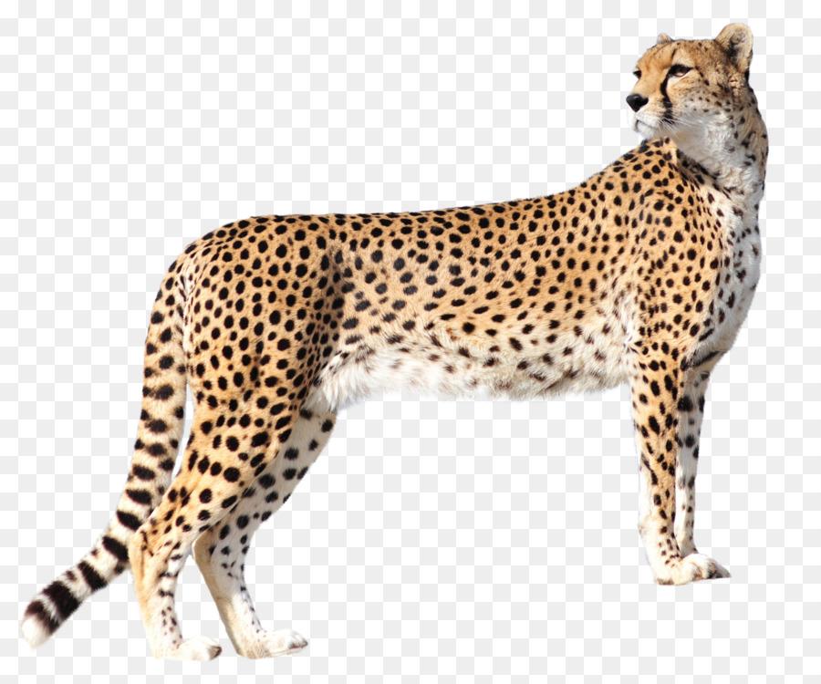 Cheetah Felidae Leopard Cat Lion