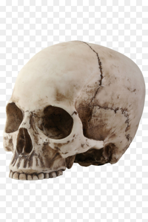 Human Skull Symbolism Human Skeleton Jaw Free Png Image Skull