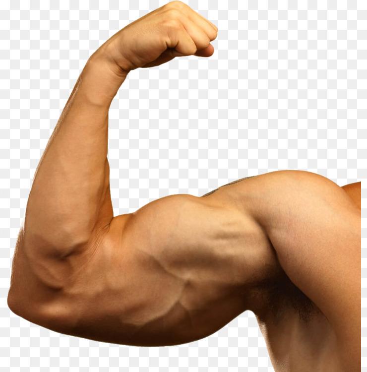 Biceps Muscle Arm Tendon Free Png Image Bicepsarmmuscle Free Png