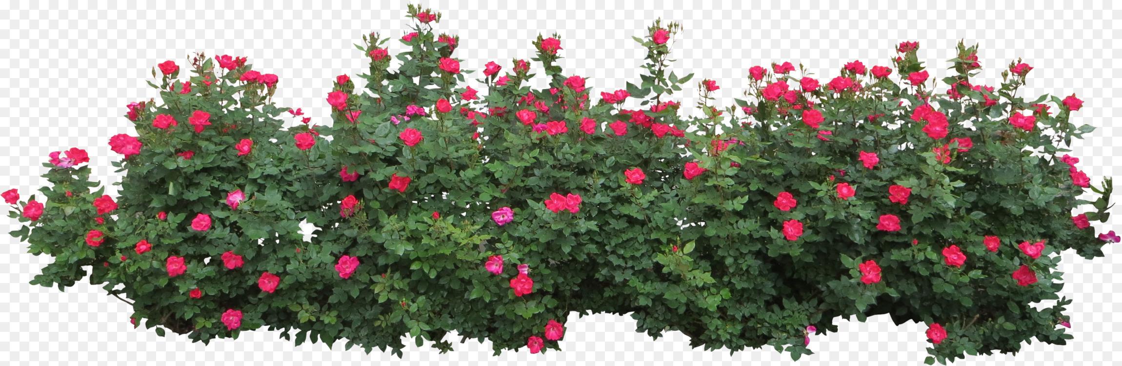 Shrub Rose Pink Flowers Plant Free Png Image Shrubrosebush Free
