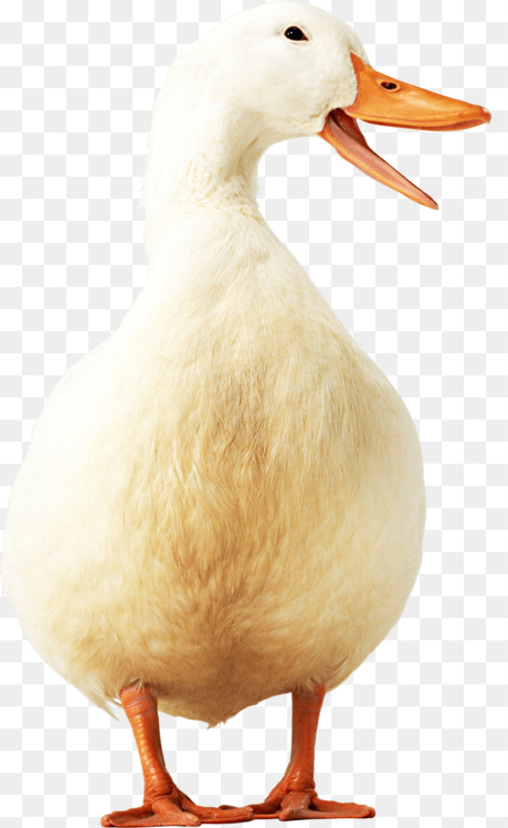 duck american pekin goose bird poultry free png image duck