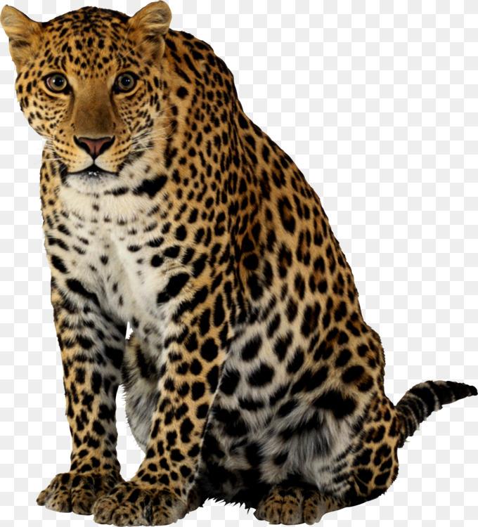 Cheetah Felidae Lion Leopard Tiger