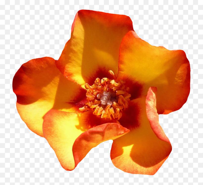 Orange,Petal,Flower