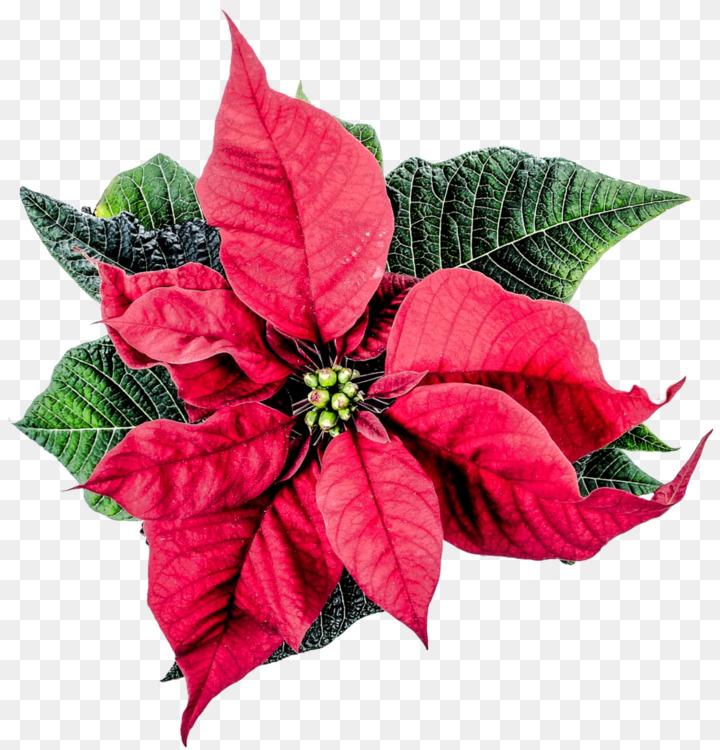 joulukukka Poinsettia Flower Christmas plants Joulukukka Free PNG Image  joulukukka
