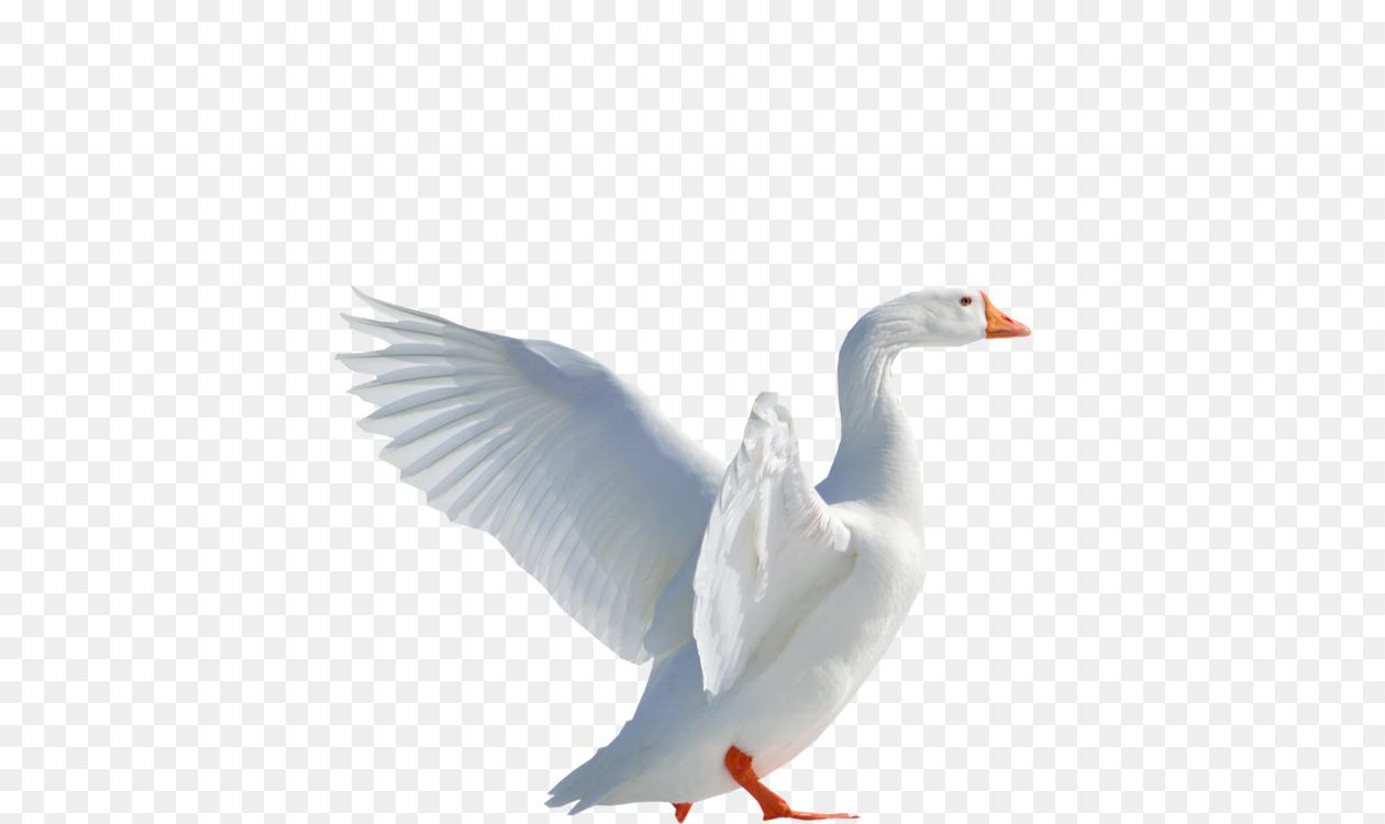 duck snow goose cygnini american pekin free png image duck goose