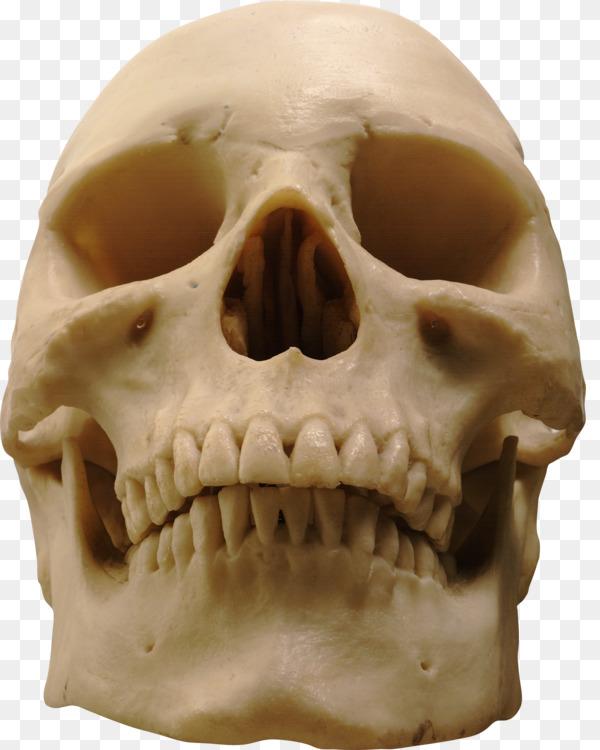 Human Skull Human Skeleton Anatomy Free Png Image Skullhuman