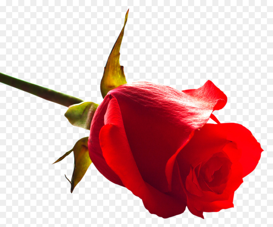 Plant,Flower,China Rose