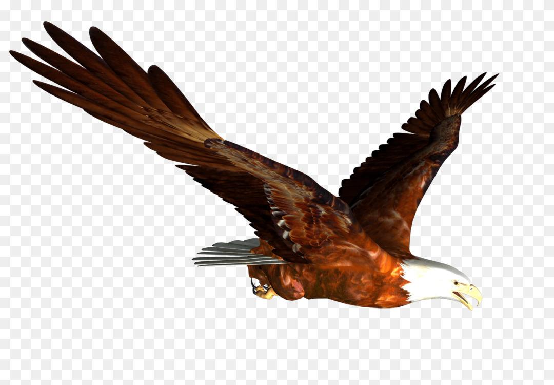 Bald Eagle Download Golden eagle Bird of prey Free PNG Image - Bald ...