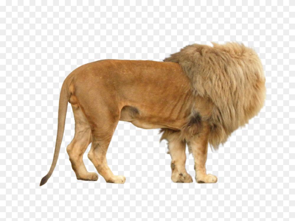 East African lion Shiba Inu Rendering Animal